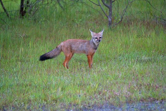 Bengal fox, Vulpes bengalensis,, Khandala, Satara, Maharashtra, India