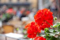 Red geranium in Stortorget square in Stockholm