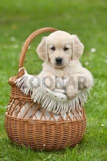 Golden Retriever puppy in a wicker basket