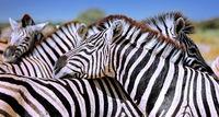 Entspannte Zebras, Steppenzebras, Etosha, Namibia, Relaxing Zebras, Equus quagga