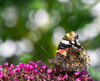 Admiral butterfly collecting nectar at a budleja blossom