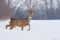Roe deer Capreolus capreolus in winter on snow.