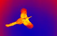Peacock with the long tail in flight in scientific high-tech thermal imager