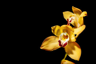 Phalaenopsis blossom on black