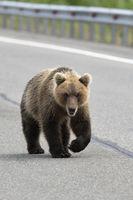 Hungry wild Kamchatka brown bear walking along an asphalt road