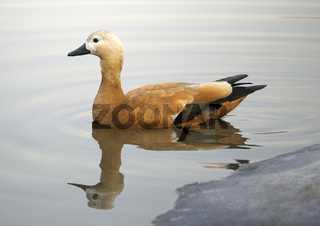 Ruddy sheldduck swimming in a lake in winter