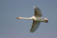 Mute swan, Cygnus olor, in flight