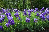 Iris germanica, Deutsche Schwertlilie, german iris
