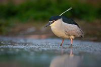 Black-crowned night heron fishing in river in green nature