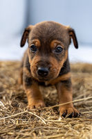 One month old brown Jack Russell stands on a pack of hay. Out for the first time, Animal themes, Selective Focus, Blur