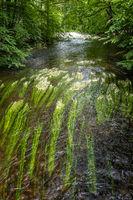 Flowering plant of the river water-crowfoot, Ranunculus fluitans at Leutstetten, Bavaria in Germany