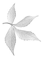 Virginia creeper leaf. Black and white imitation of pencil drawing. Close-up view.
