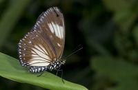 Courtesan butterfly Female, Euripus nycteliu, Garo Hills, meghalaya, India