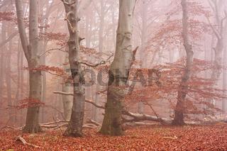 Herbstwald im Nebel, Jasmund, Rügen