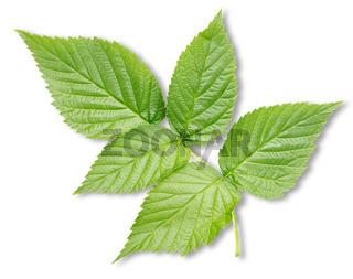 Raspberry leaves isolated