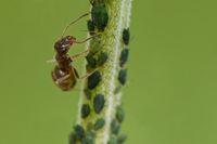 Ameise pflegt Blattläuse