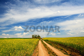 Colourful field of rapeseed