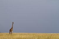 Masai Giraffe, Masai Mara, Kenia.