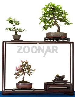 Kleine Bonsai-Bäume im Display