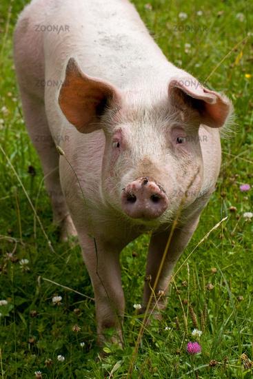 Schwein auf Wiese