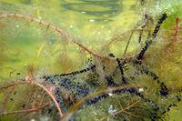 Laichschnüre von Erdkröten (Bufo bufo) an Ähren-Tausendblatt (Myriophyllum spicatum)