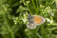 Seitliche Makroaufnahmen von einem Kleinen Schmetterling an einer weißen Blüte vor unscharfem grünem
