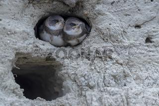 Zwei junge Uferschwalben warten am Hoehleneingang auf Futter