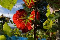rotes Herbstblatt in einem Weinberg