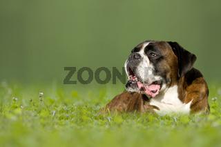 Dog, German Boxer