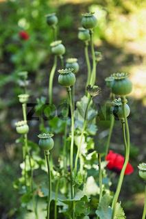 Poppy plants in garden