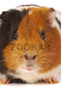 Portrait of a Guinea-pig. Macro a photo.