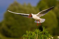 Black-headed gull with open beak landing in green summer nature