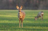 Roe deer doe at sunrise in the spring