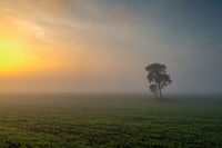 Lonely tree on the field in the morning, mist.
