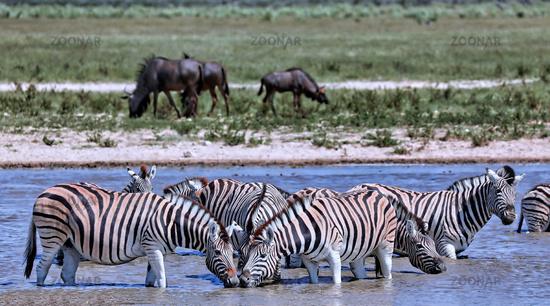 Zebras im Wasser, Steppenzebras, Etosha, Namibia, Zebras in the water