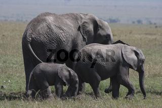 Gruppe afrikanischer Elefanten,loxodonta africana