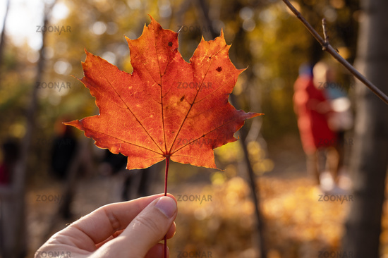 Maple leaf holding in hand