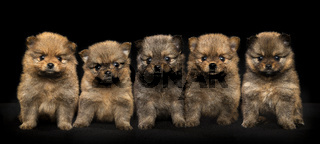 Five cute  pomeranian puppy dogs sitting together looking at the camera on a black background
