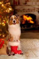 Dog; Australian Shepherd sitting in front of the Christmas tree with gifts