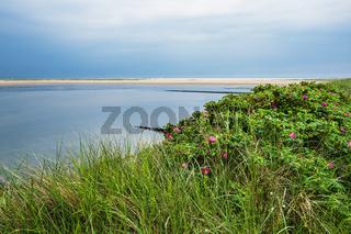 Strand mit Kartoffelrosen in Wittdün auf der Insel Amrum