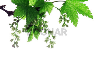 Branch of a blossoming currant it is isolated on the white