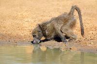 Chacma baboon (Papio ursinus) drinking water
