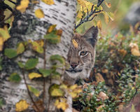 The Eurasian lynx - Lynx lynx - adult animal in autum colored vegetation, looking out from behind a birch tree. Only one eye visible.