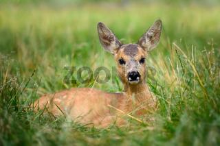 Baby roe deer on summer meadow
