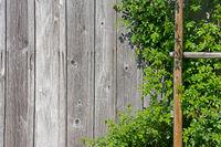 Holzwand mit Kletterpflanze
