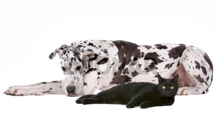 Great Dane and a black cat