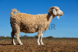 An angora goat on a rural African free-range farm