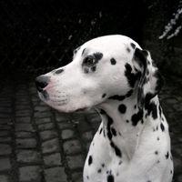 dalmatiner portrait 2