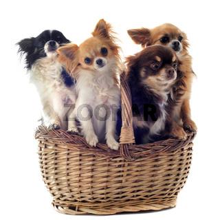 chihuahuas in basket