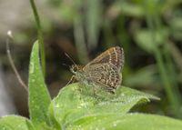 Veined Scrub Hopper Butterfly, Aeromachus stigmata, Sikkim, India